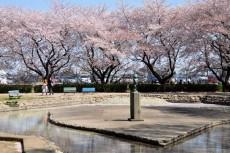 じゃぶじゃぶ池と桜