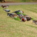 川越水上公園の野鳥