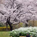 川越水上公園の桜