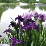 池の畔に咲く菖蒲