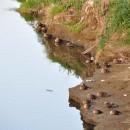 入間川の野鳥