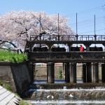 堰谷堤と桜