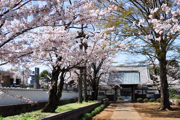 延命寺と桜