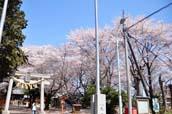 上戸日枝神社と桜