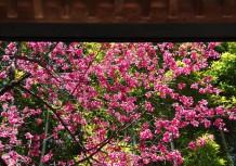 釈迦堂の軒先から寒桜