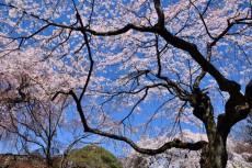 境内に咲き乱れる桜