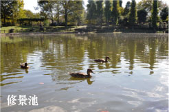 修景池と野鳥