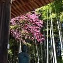 中院 寒桜
