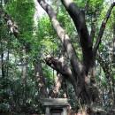 山王社と巨木