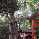 三変稲荷神社のムクノキ