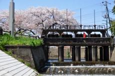 田谷堰と桜