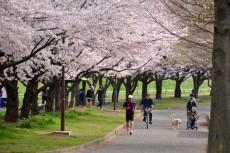 桜の下を散歩&ジョギング