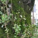 若いヒイラギの枝