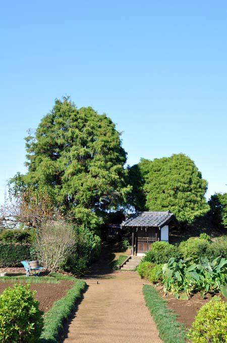 笠幡浅間神社のヒヨクヒバ