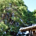 笠幡浅間神社とヒヨクヒバ