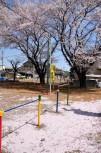 公園に集まる桜の花びら