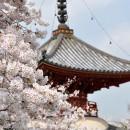 多宝塔と桜